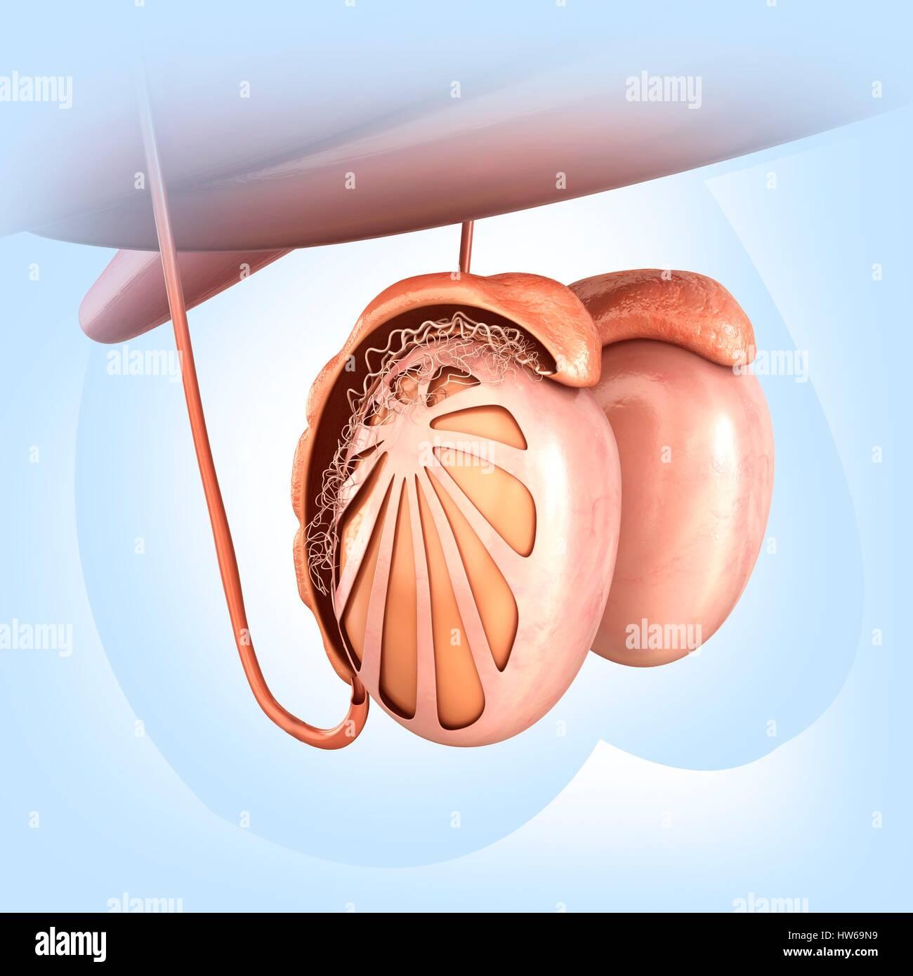 Illustration of male testes anatomy Stock Photo: 135978341 - Alamy