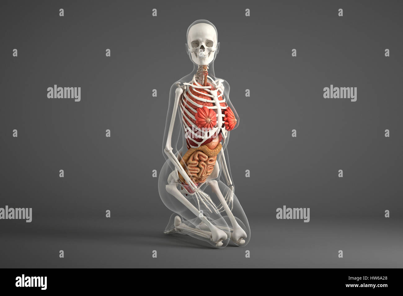 Female Internal Organs Illustration Stock Photo 135978592 Alamy