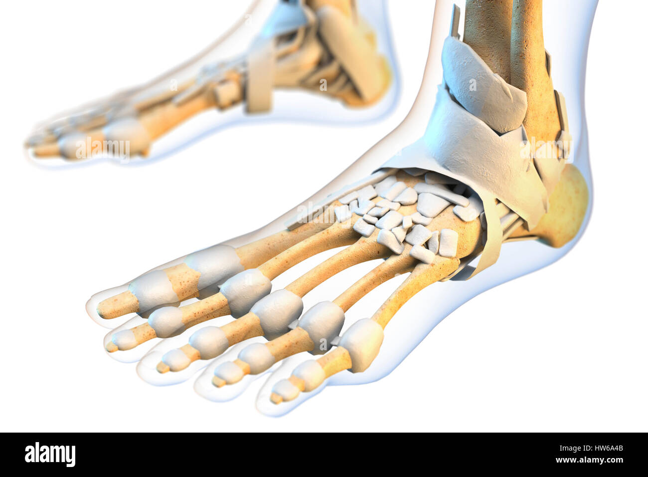 Human Foot Ligaments Illustration Stock Photos Human Foot