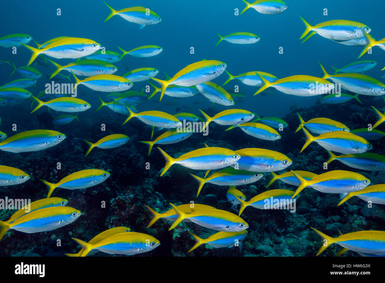 Shoal of Yellowback Fusilier, Caesio teres, South Male Atoll, Maldives Stock Photo