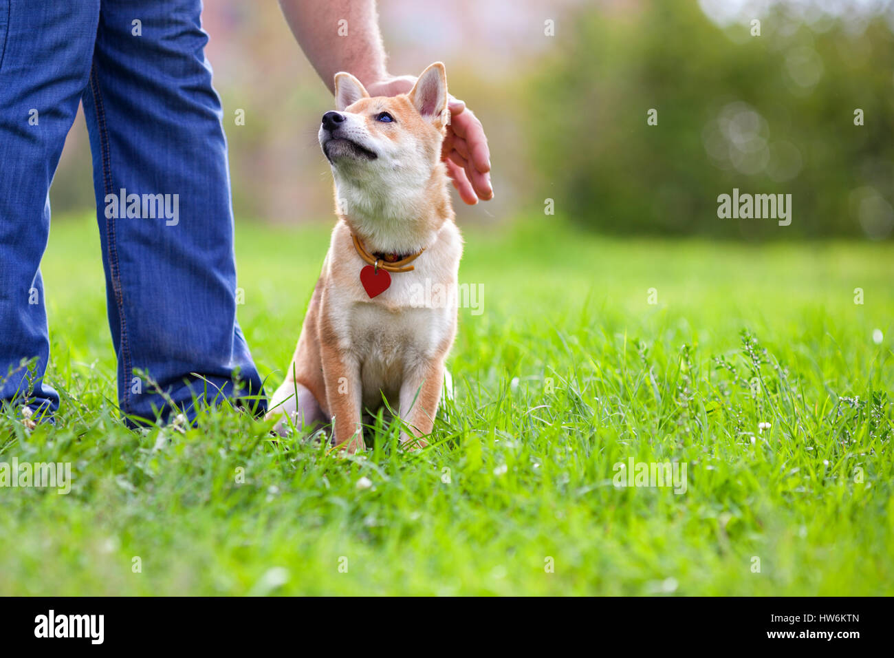Shiba Inu in the park. - Stock Image