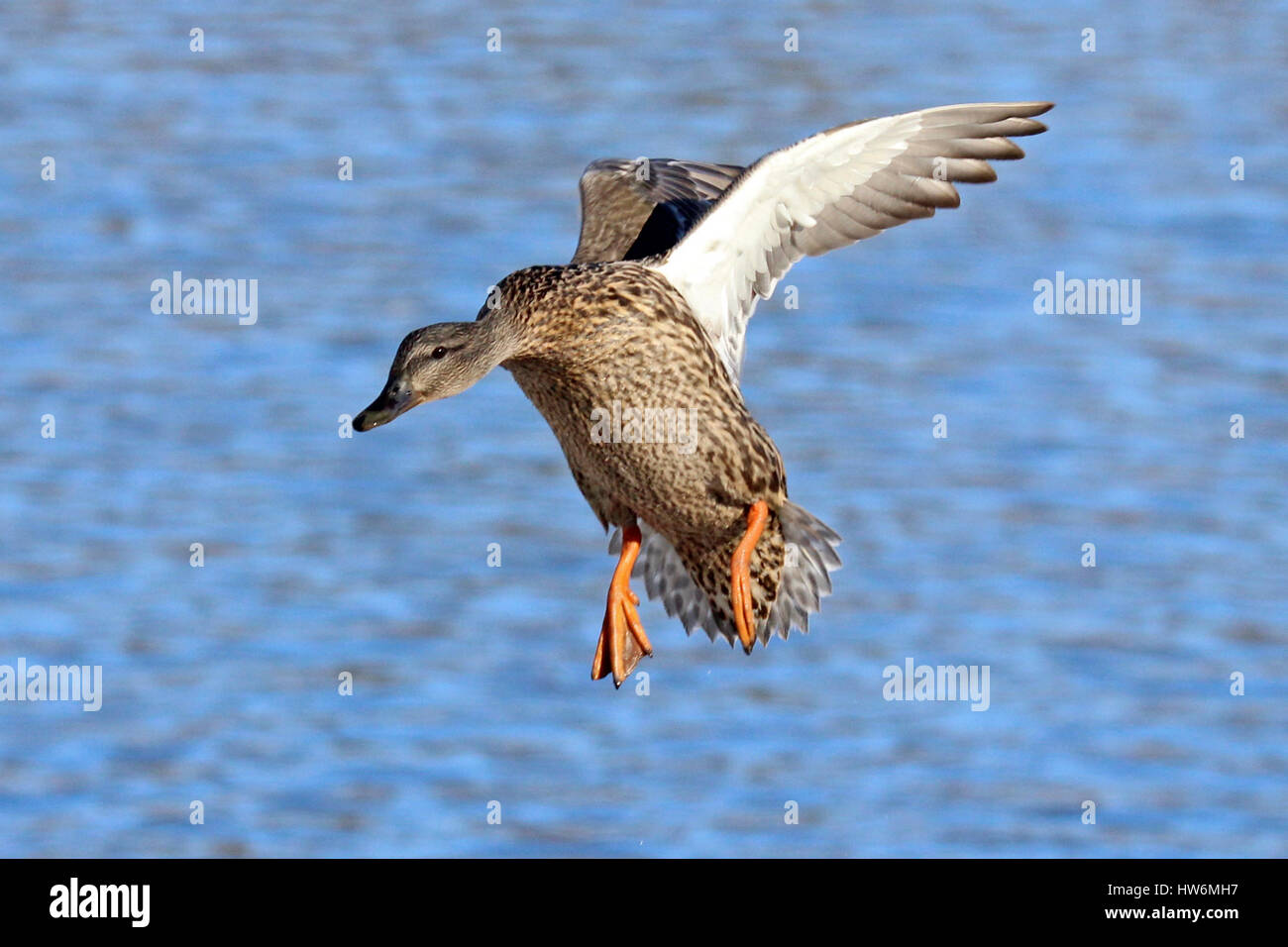A Female Mallard Duck Flying In To Land On A Lake Stock Photo