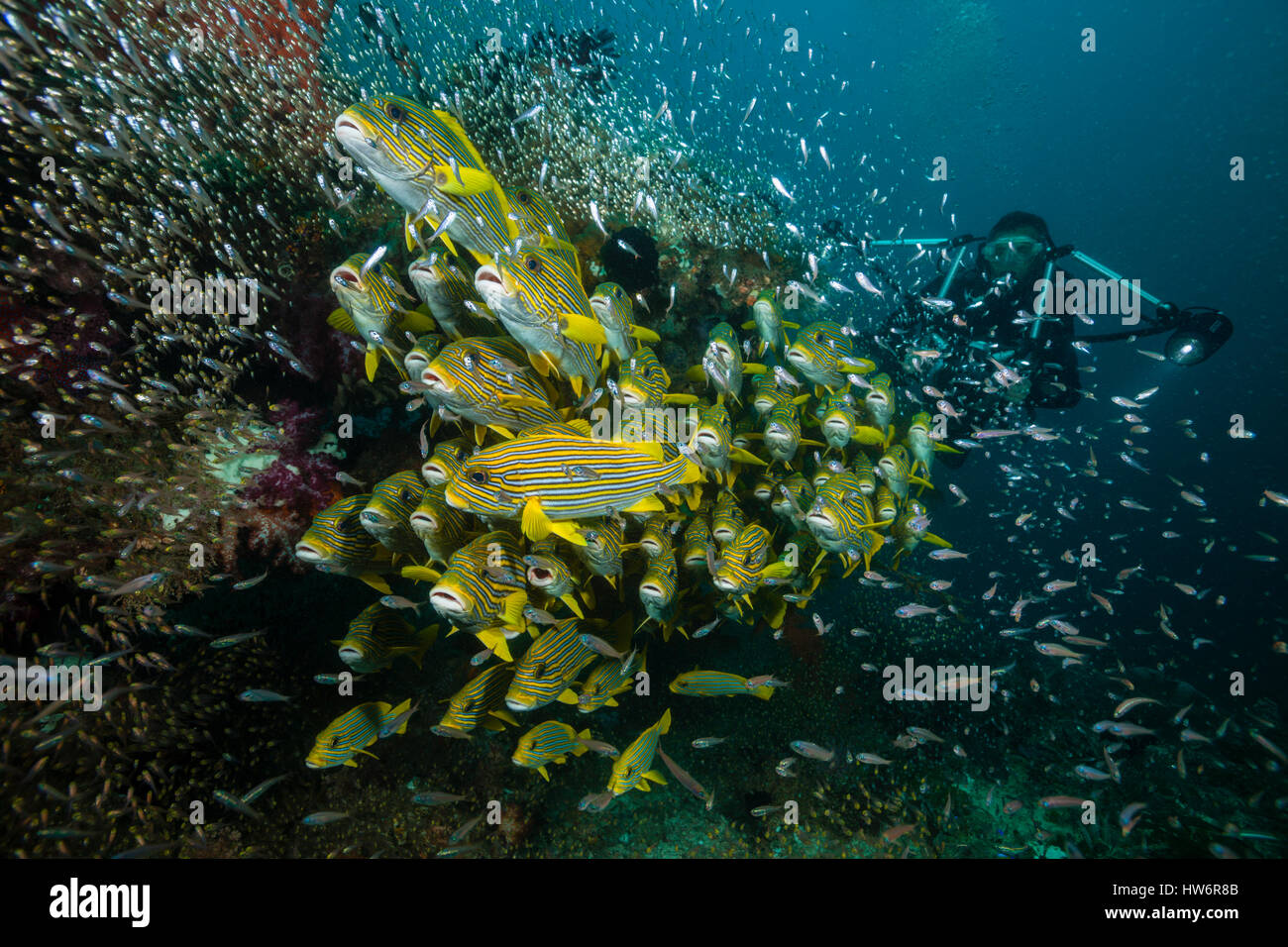 Shoal of Yellow-ribbon Sweetlips, Plectorhinchus polytaenia, Raja Ampat, West Papua, Indonesia - Stock Image