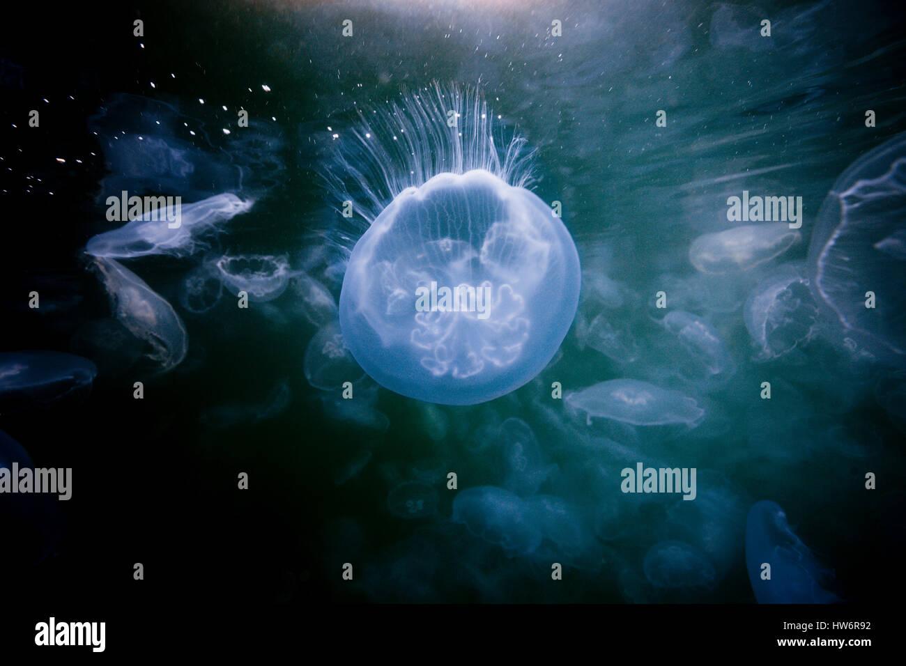 Moon Jellyfish, Aurelia aurita, Raja Ampat, West Papua, Indonesia - Stock Image