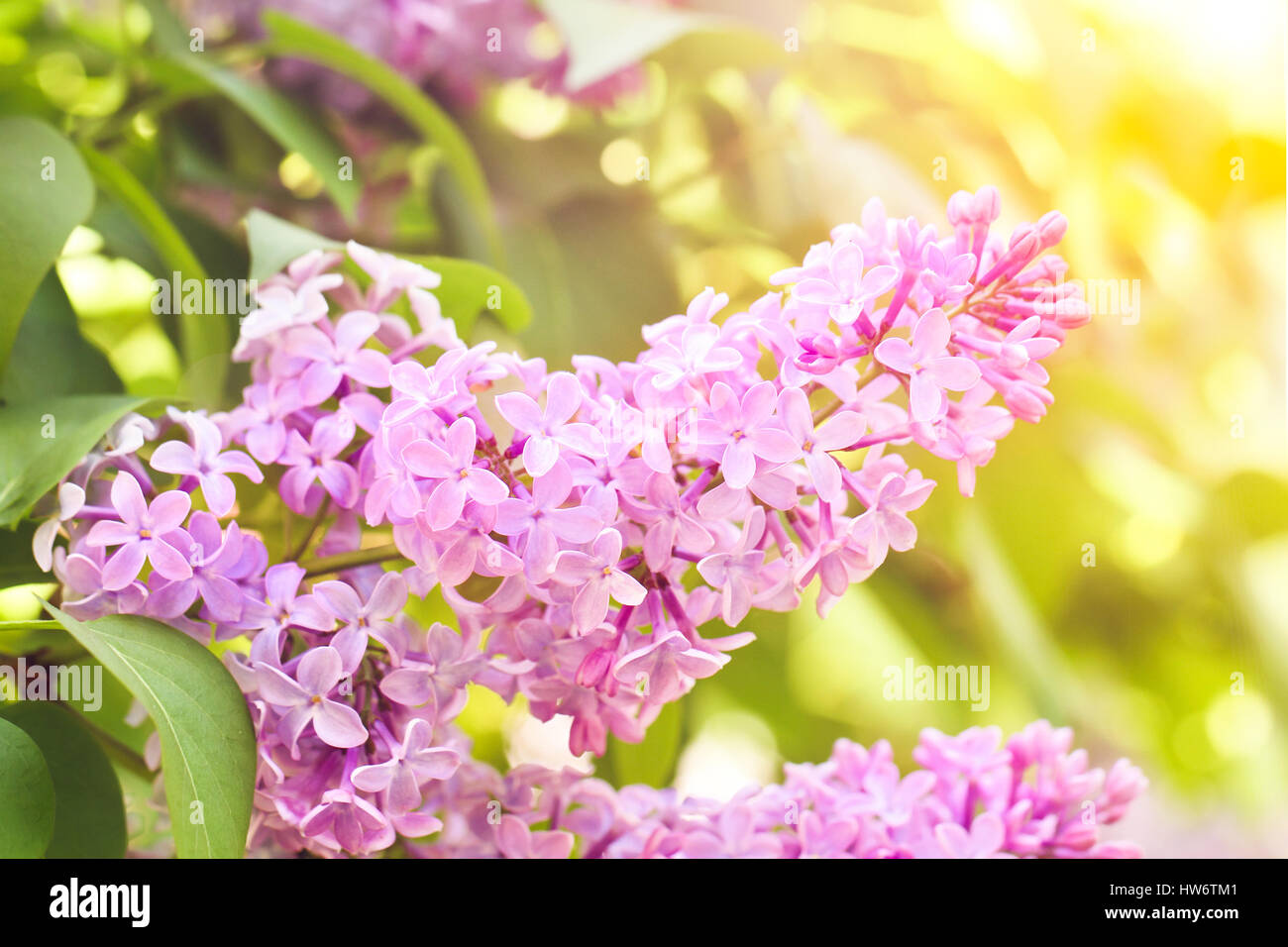 spring lilac flower - Stock Image