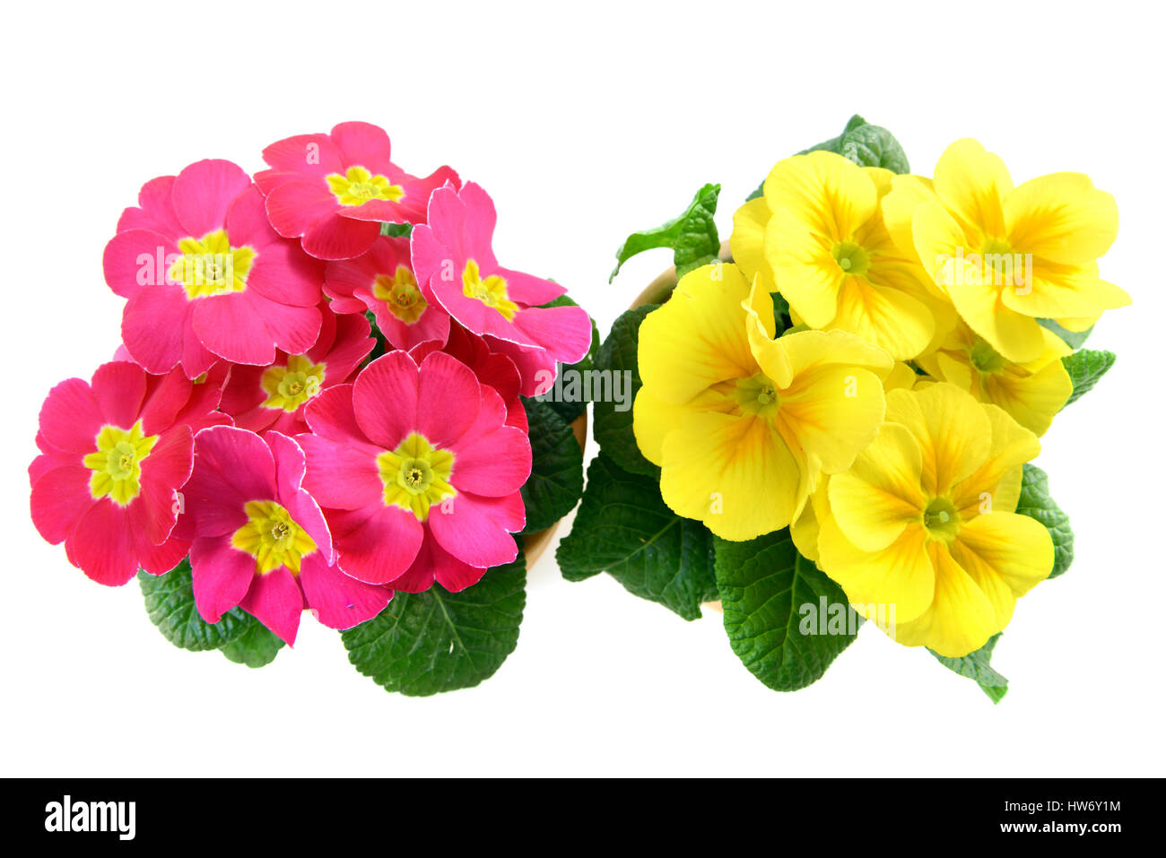 Pink And Yellow Primrose Flower Frame Isolated On White Background