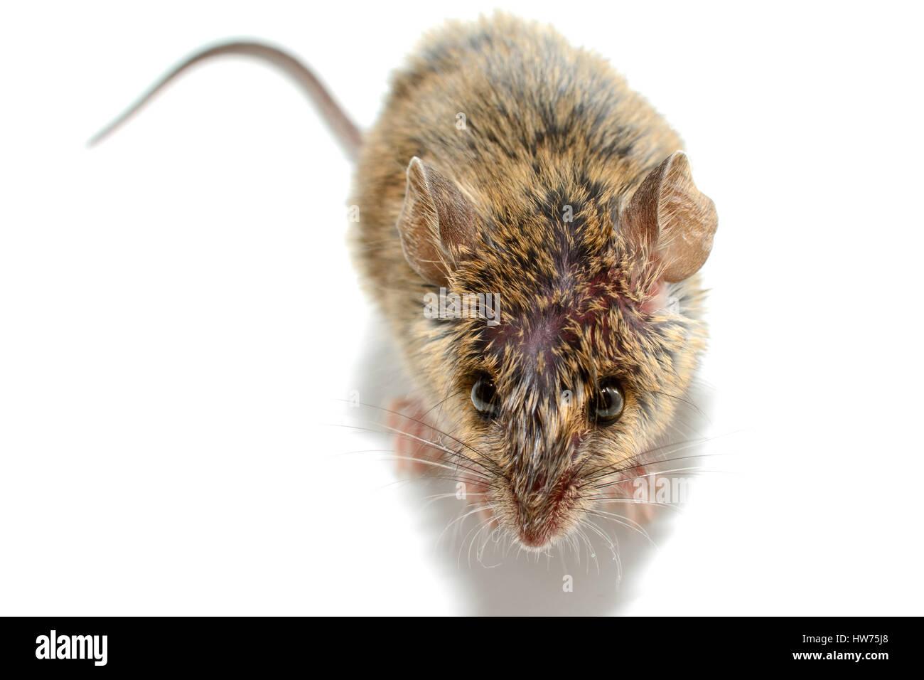 house mouse (Mus musculus) on white background Close-up above - Stock Image