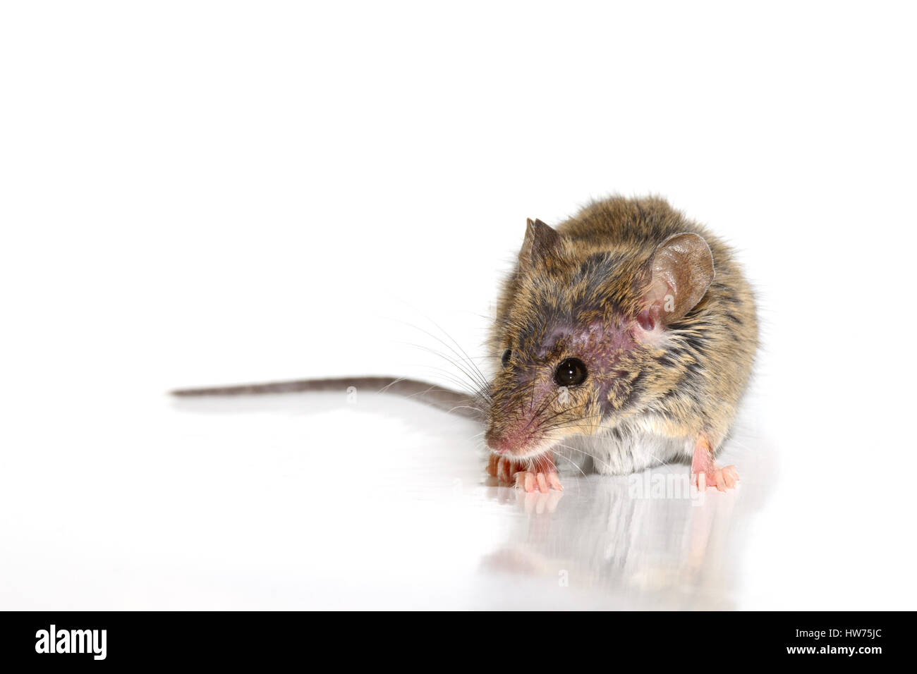 house mouse (Mus musculus) on white background Close-up s - Stock Image