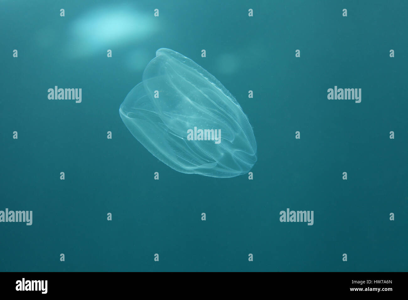 Sea walnut jellyfish (Mnemiopsis leidyi) underwater in the Mediterranean Sea Stock Photo