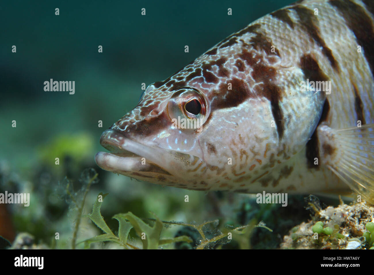 Painted comber (Serranus scriba) underwater in the Mediterranean Sea - Stock Image
