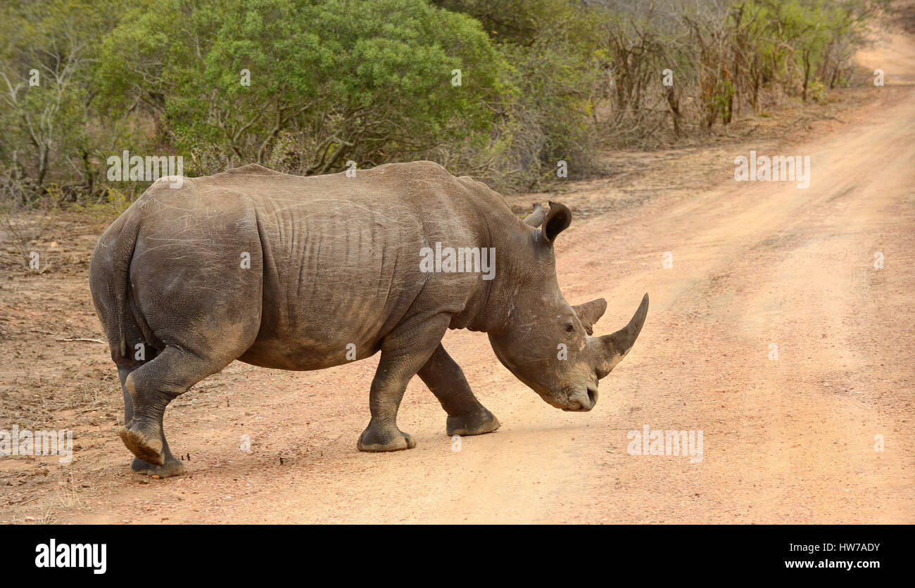 Larged Rhinoceros in Kruger National Park in South Africa whose horns are subject to poaching and making the animal - Stock Image