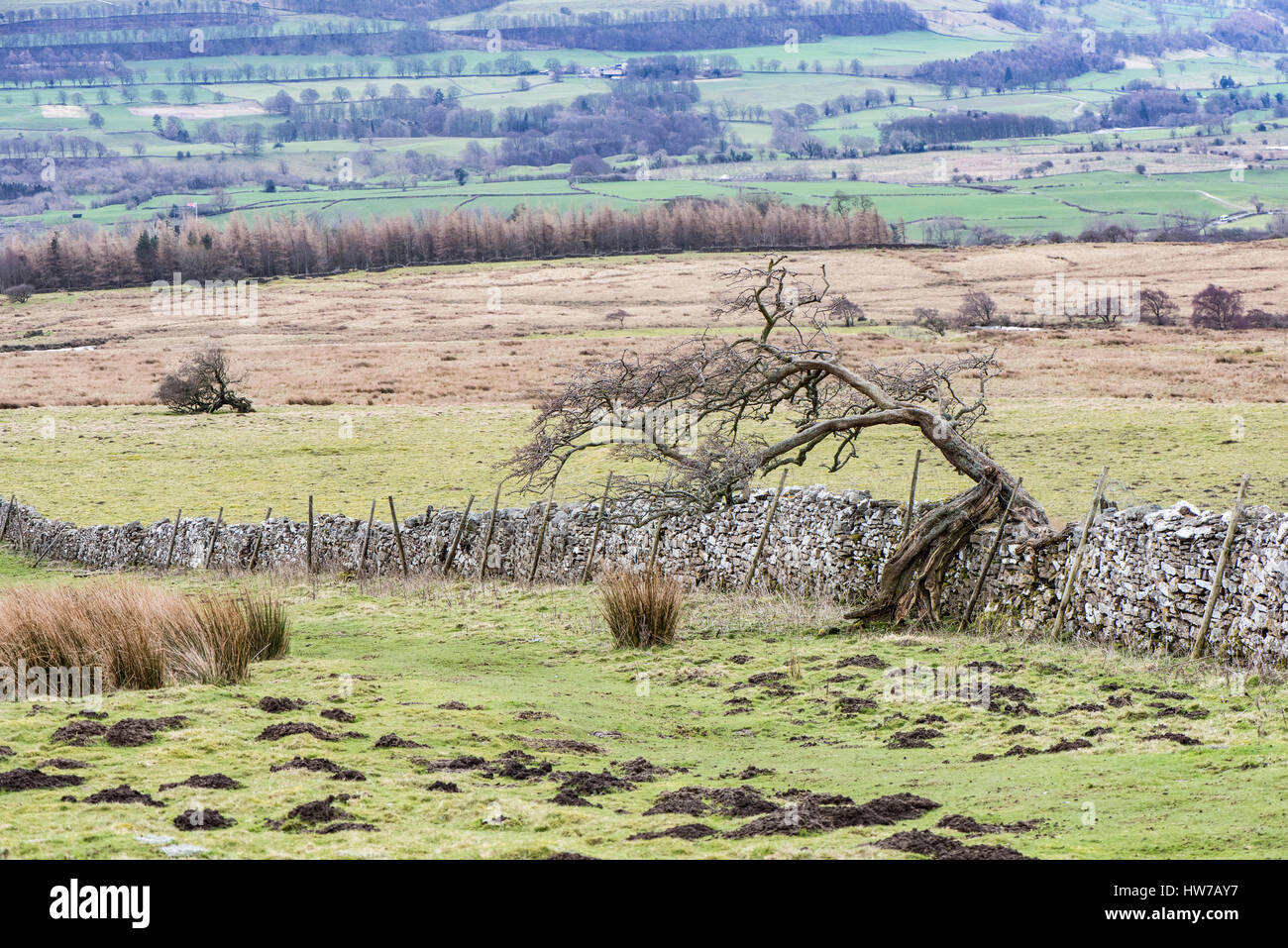 Windblown hawthorns and a drystone wall separating Anderson Park from Blackhill Park, Castle Bolton, Wensleydale Stock Photo