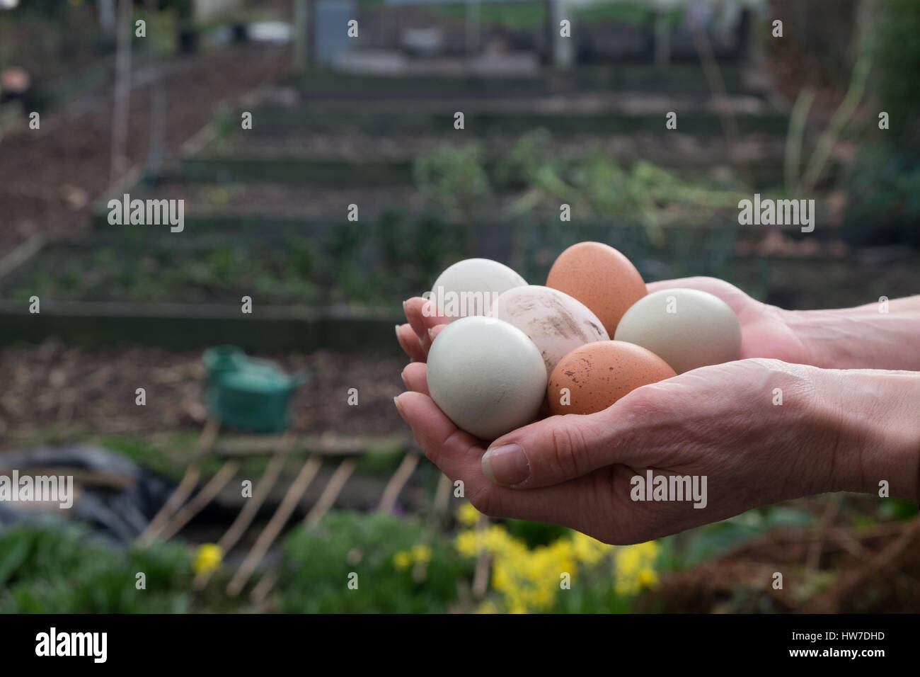 Hands holding out varied fresh laid eggs - Stock Image