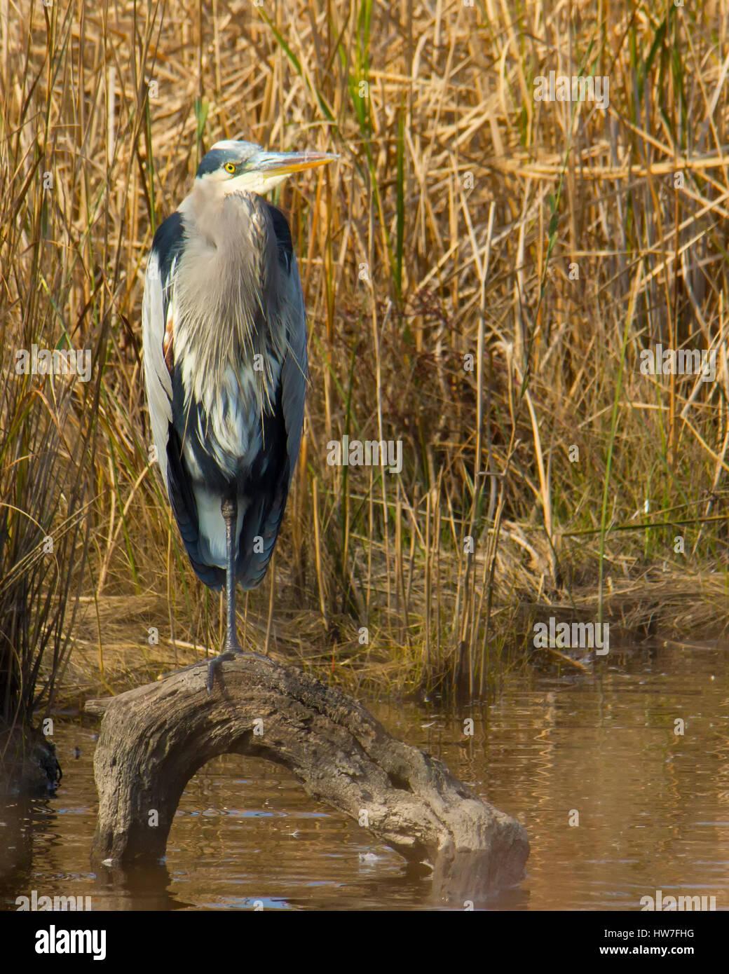 Great blue heron standing on log in water - Stock Image