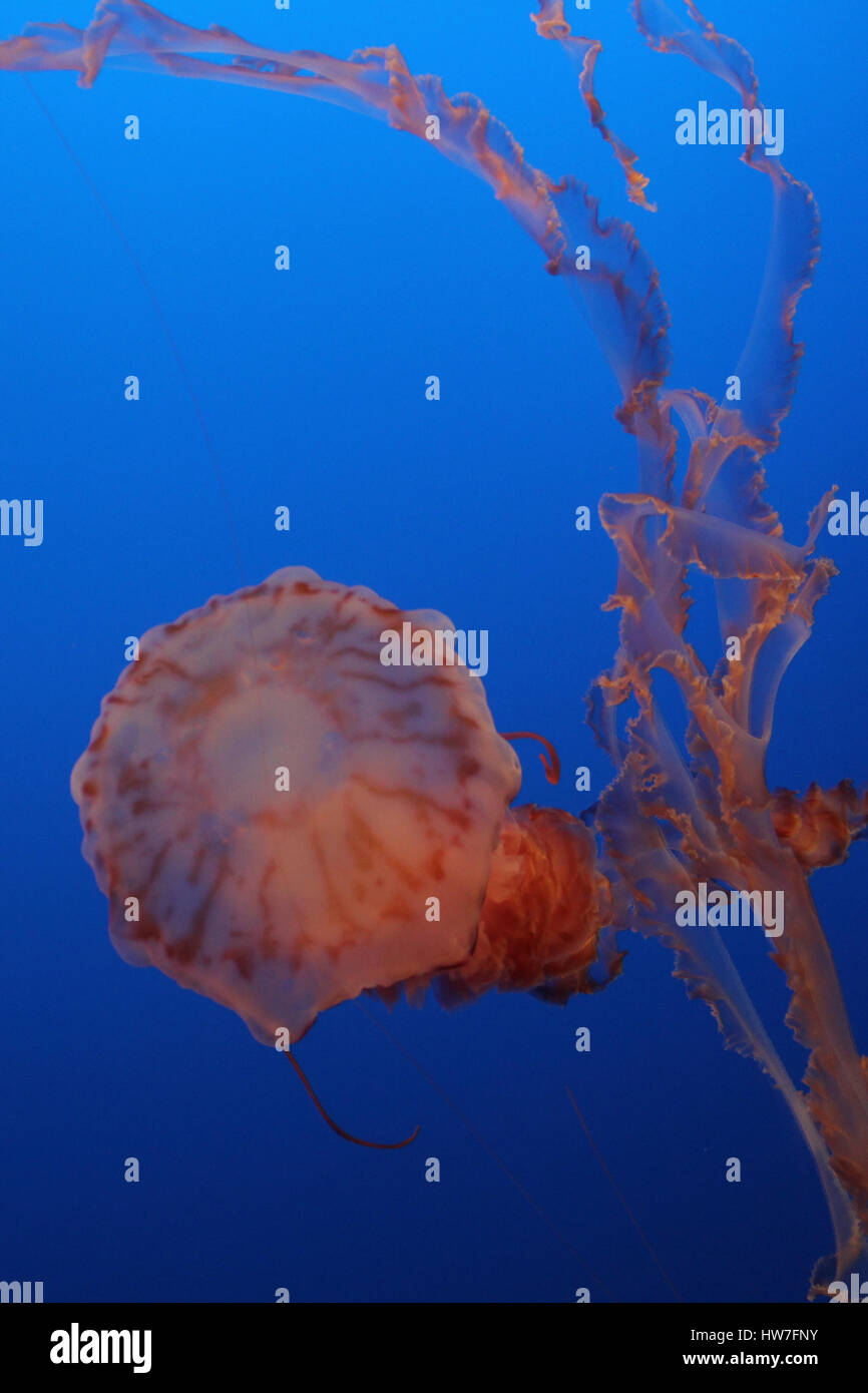 Jellyfish at Monterey bay aquarium - Stock Image