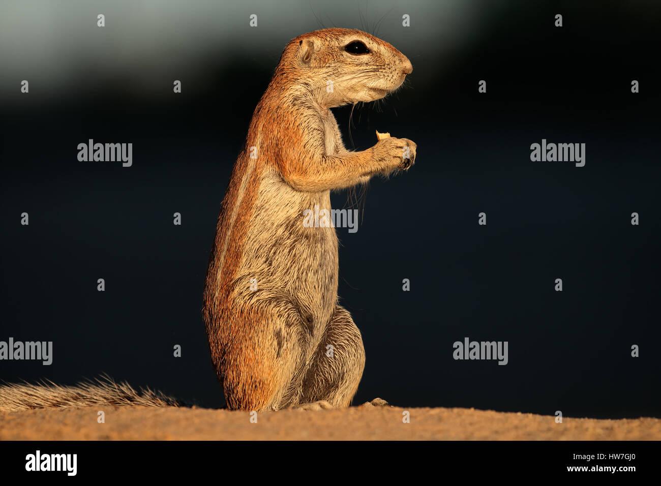 Feeding ground squirrel (Xerus inaurus), Kalahari desert, South Africa - Stock Image