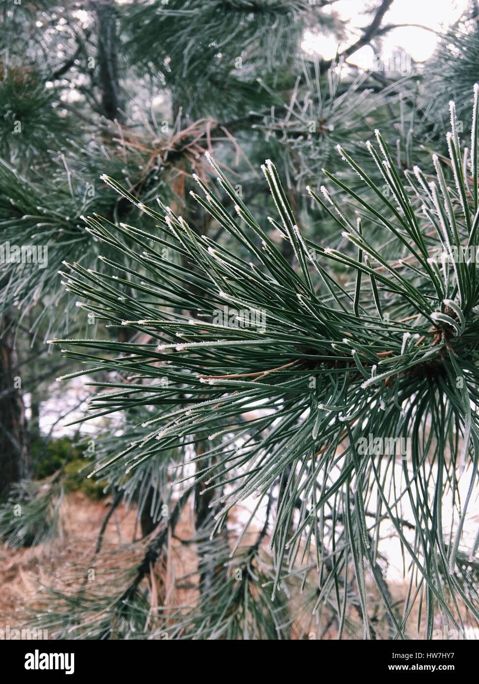 Sonder Explorations - Winter Pine Needles - Stock Image