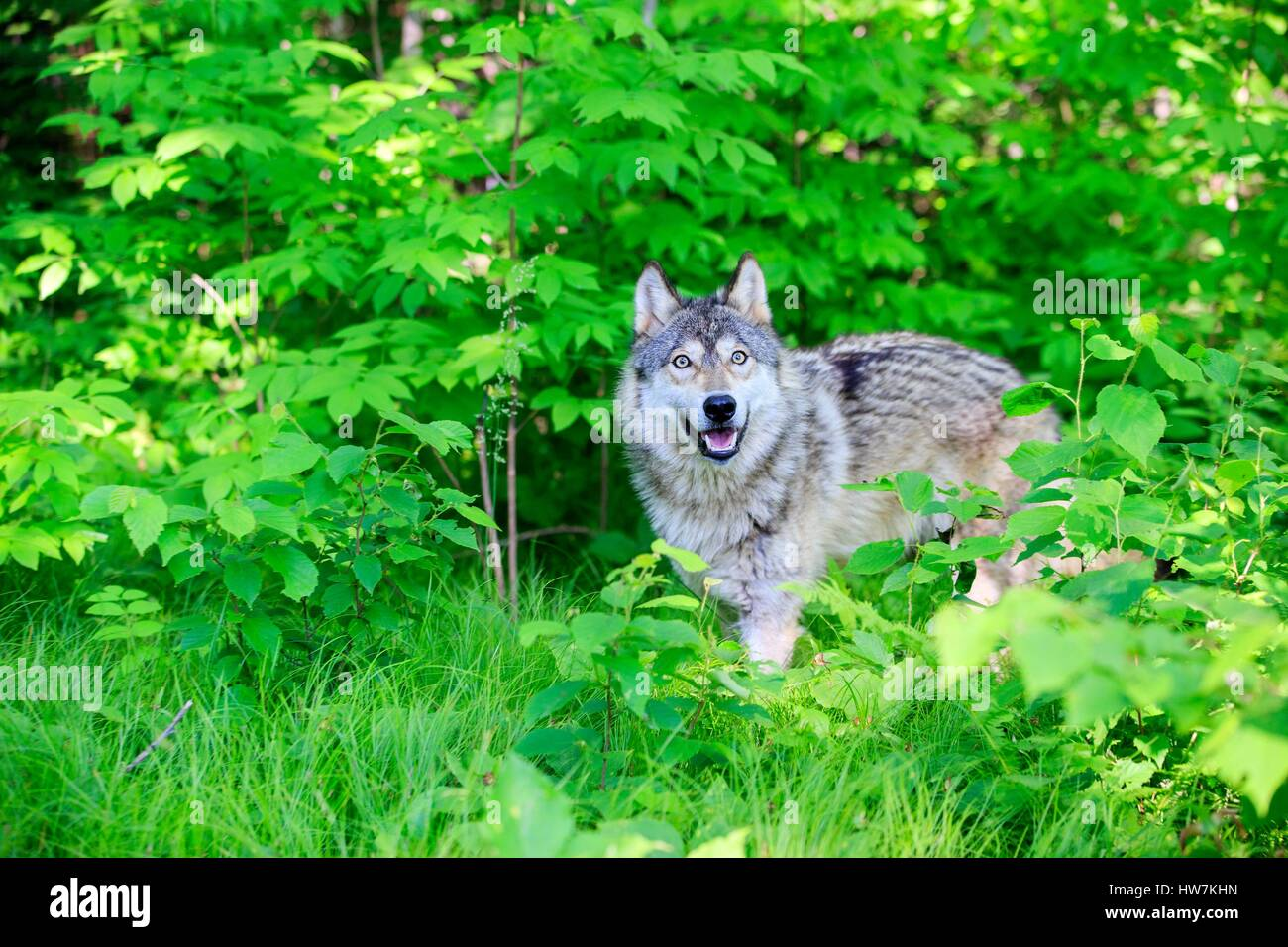 United States, Minnesota, Wolf or Gray Wolf or Grey Wolf (Canis lupus) - Stock Image