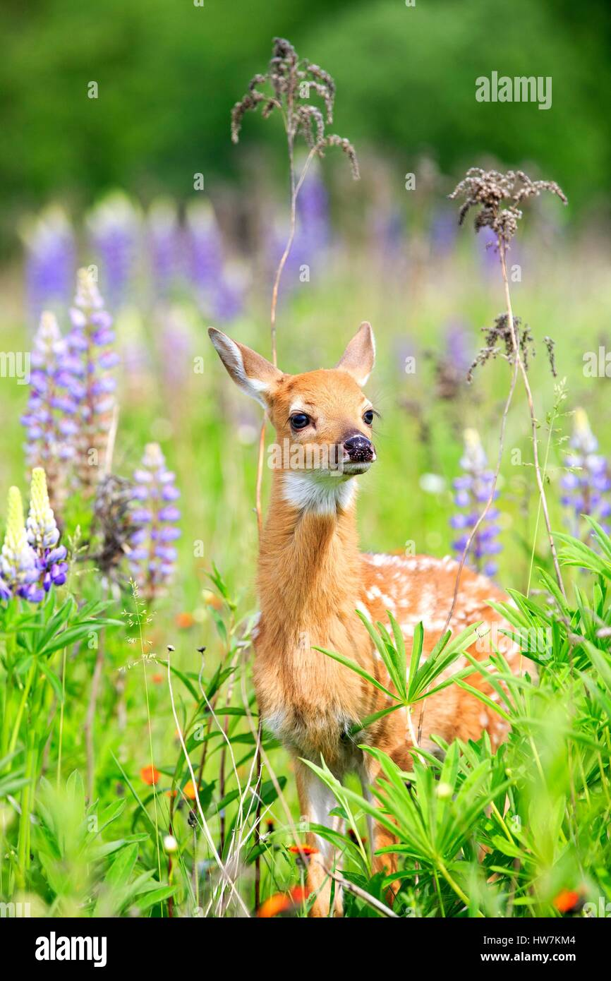United States, Minnesota, White tailed Deer (Odocoileus virginianus), baby, in a meadow with lupins Stock Photo