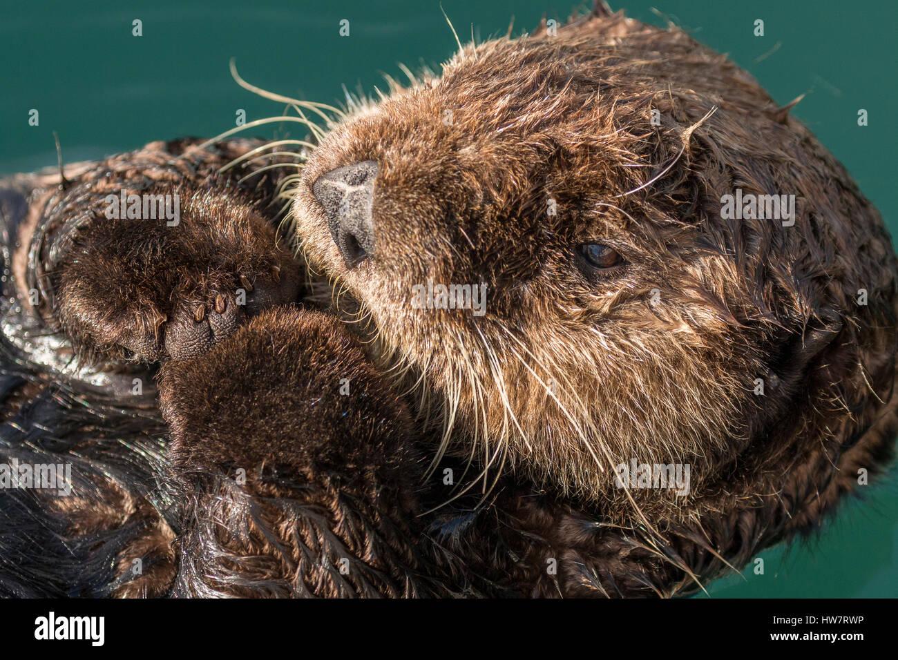 Sea otter floating in Seward harbor, Alaska. - Stock Image