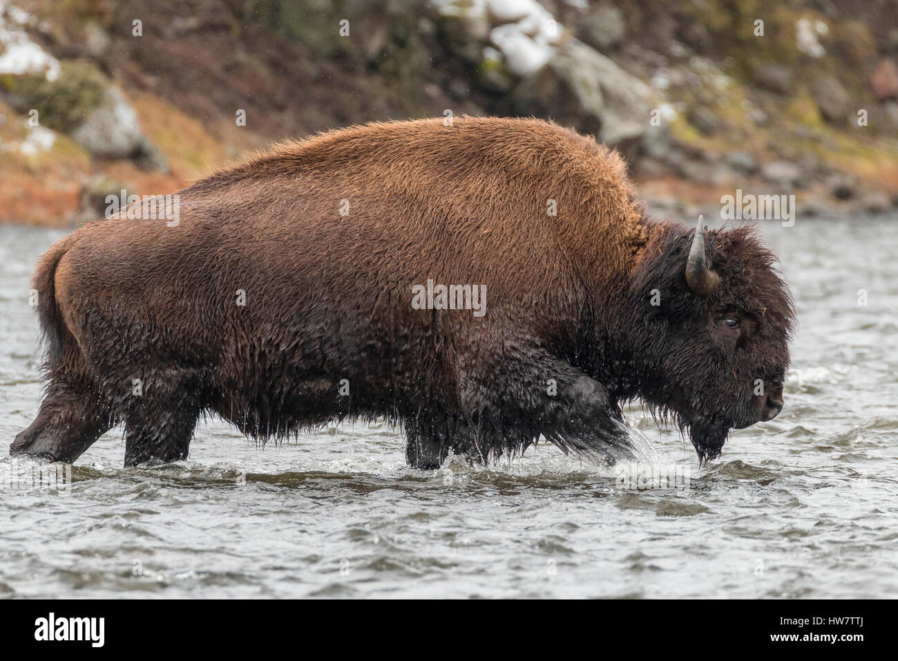 Bull bison fording the Madison River in Yellowstone National Park. - Stock Image