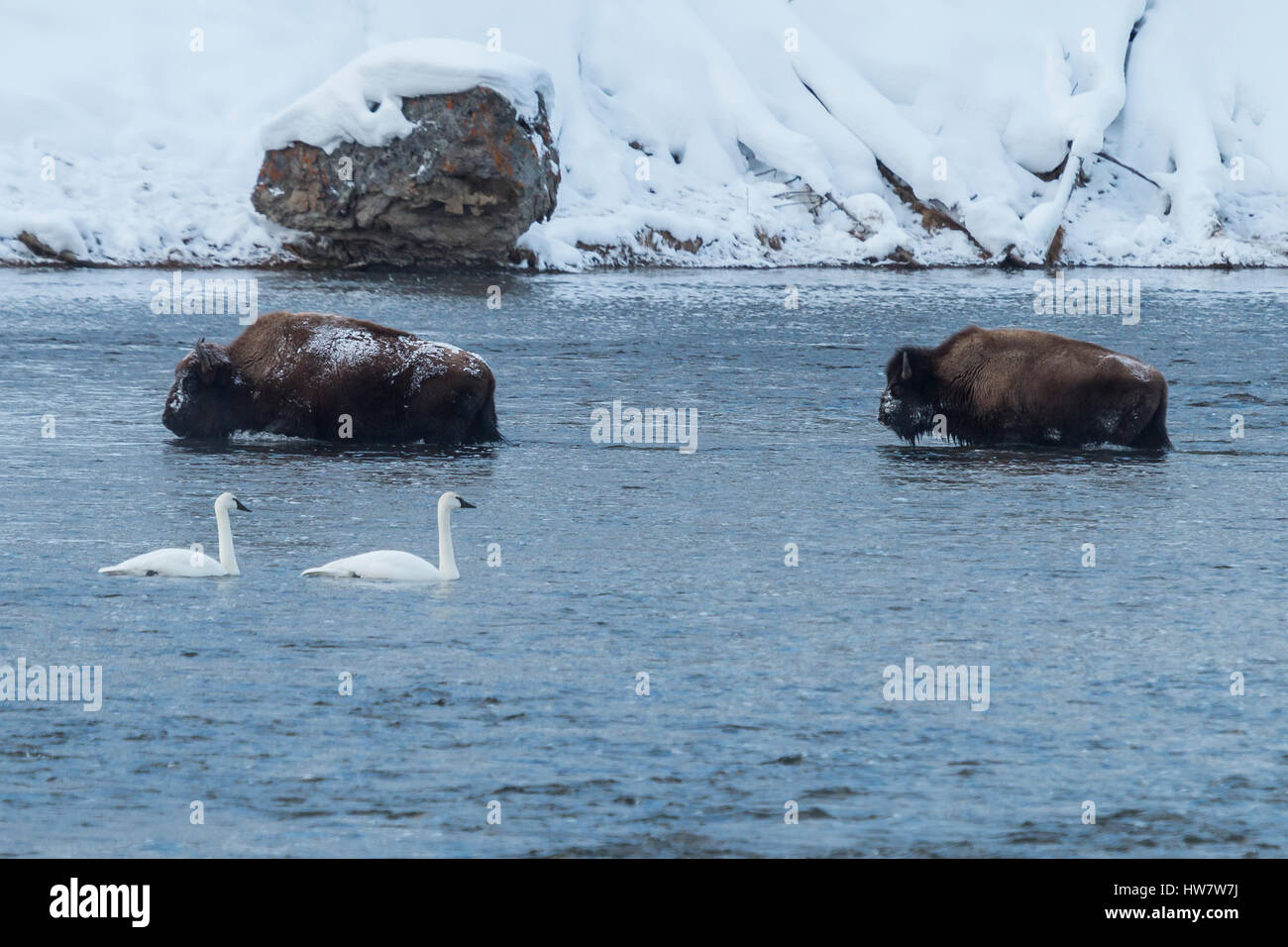 Bison fording the Madison River as trumpeter swans float by in Yellowstone National Park, Wyoming. - Stock Image
