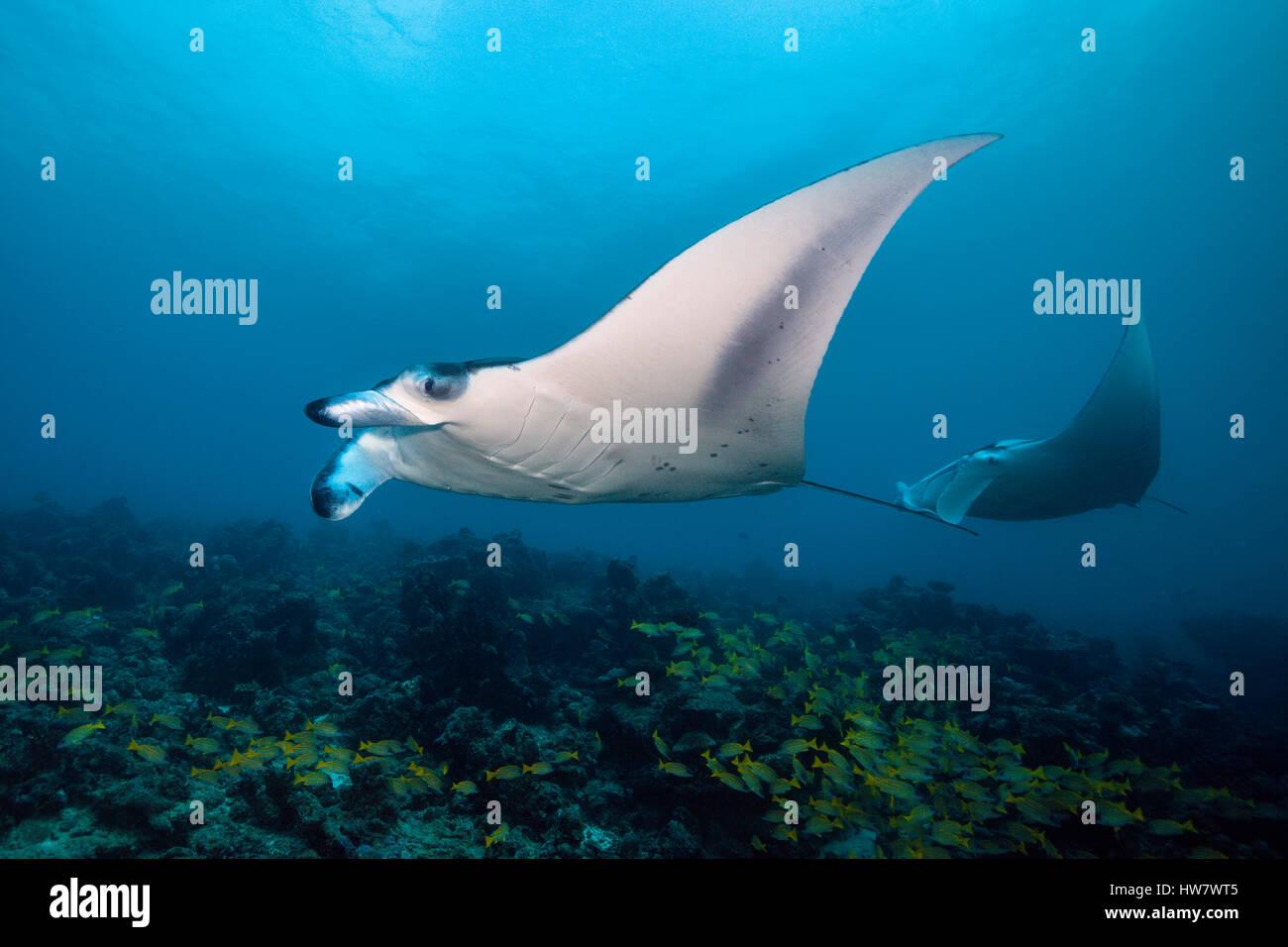 Reef Manta, Manta alfredi, North Male Atoll, Maldives Stock Photo