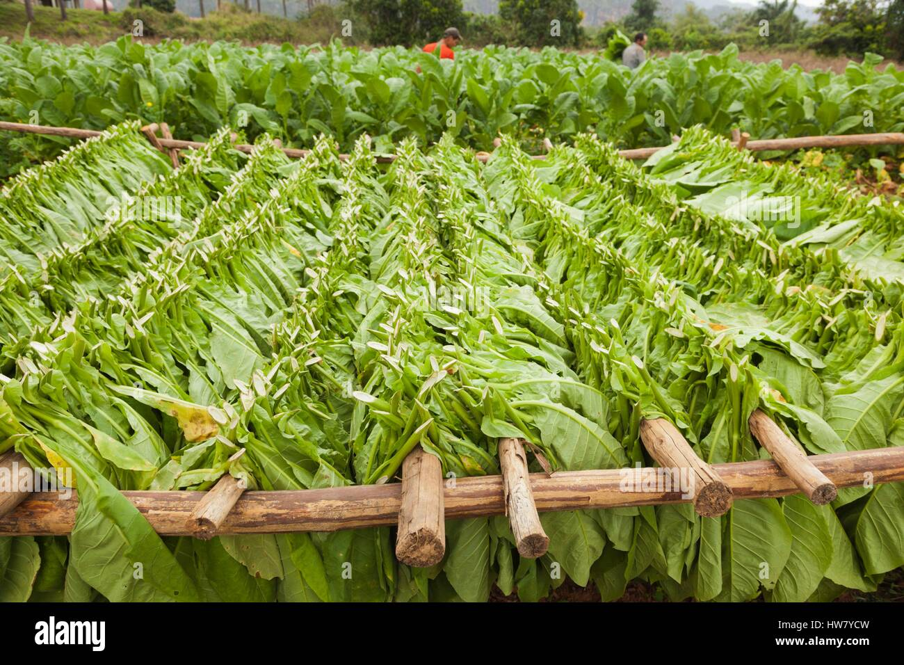 Cuba, Pinar del Rio Province, Vinales, Vinales Valley, outdoor drying of tobacco leaves - Stock Image