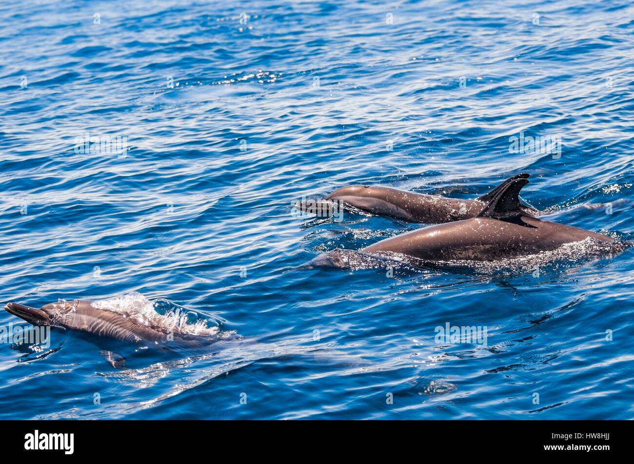 France, Mayotte island (French overseas department), spotted dolphins (Stenella attenuata) in the lagoon - Stock Image