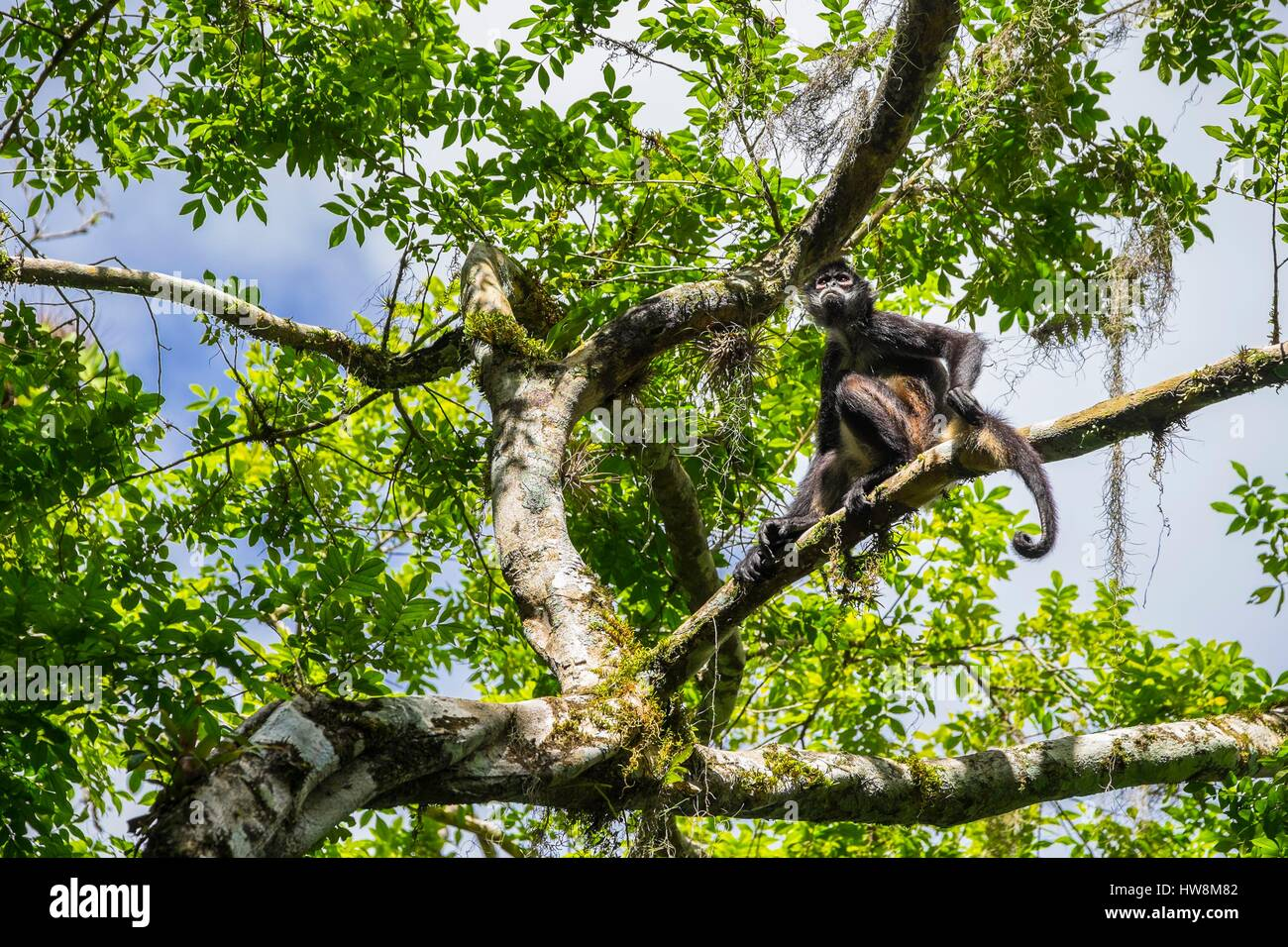 Guatemala, Peten department, Tikal National Park, a UNESCO World Heritage site, spider monkey - Stock Image