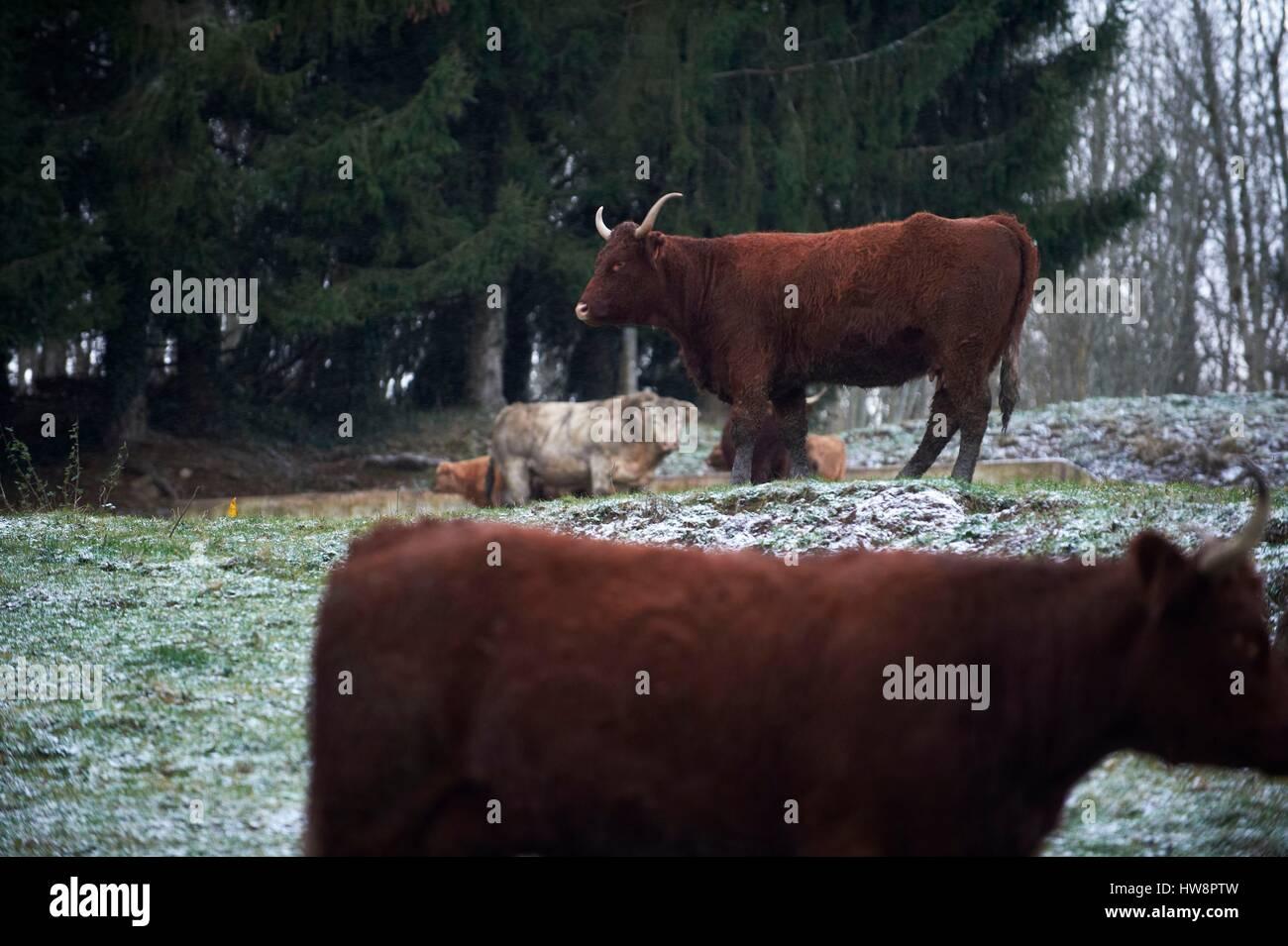 France, Correze, cows, Salers breeds - Stock Image