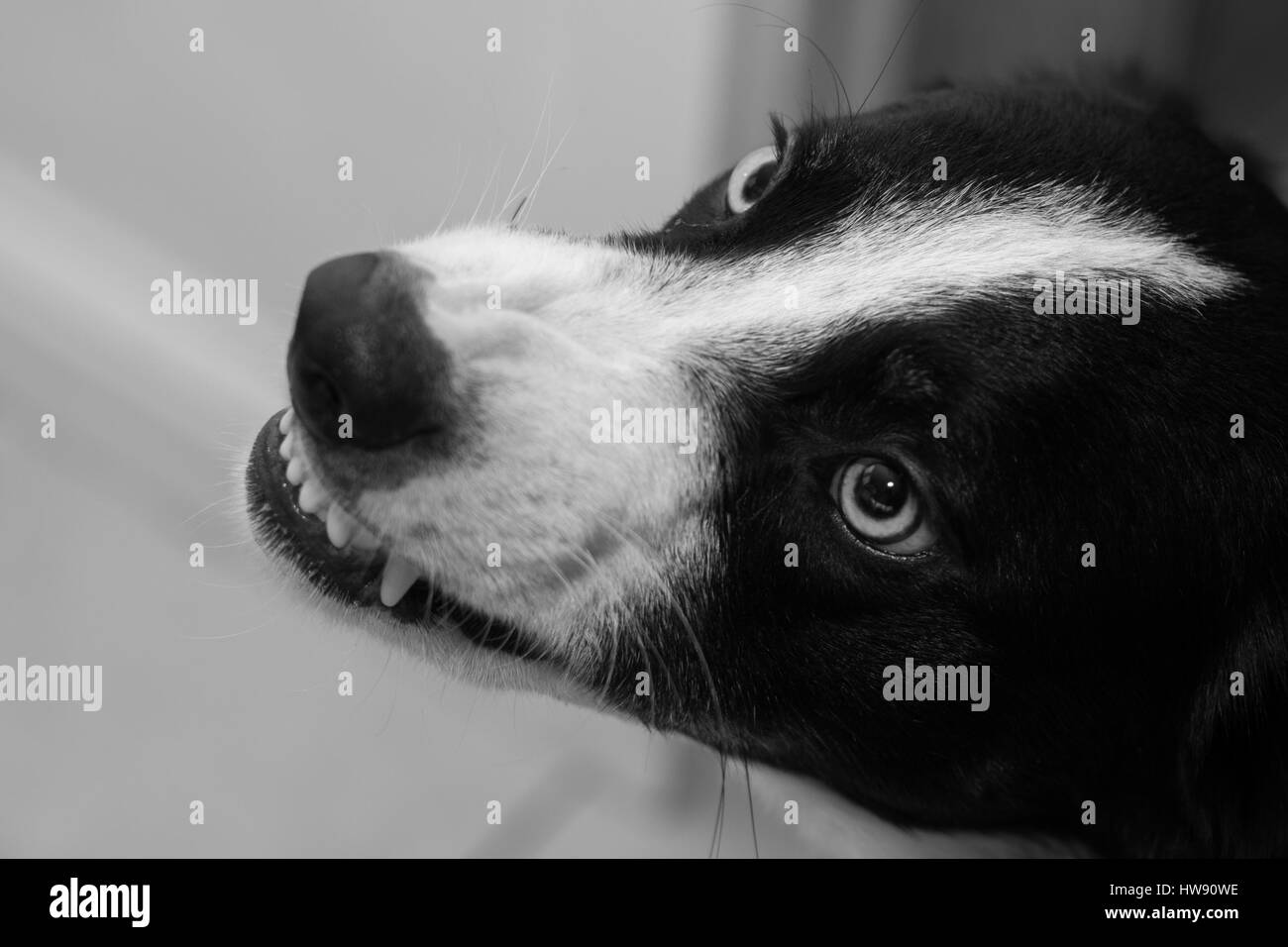 Angry Border Collie Dog, Growling and Showing Teeth - Stock Image