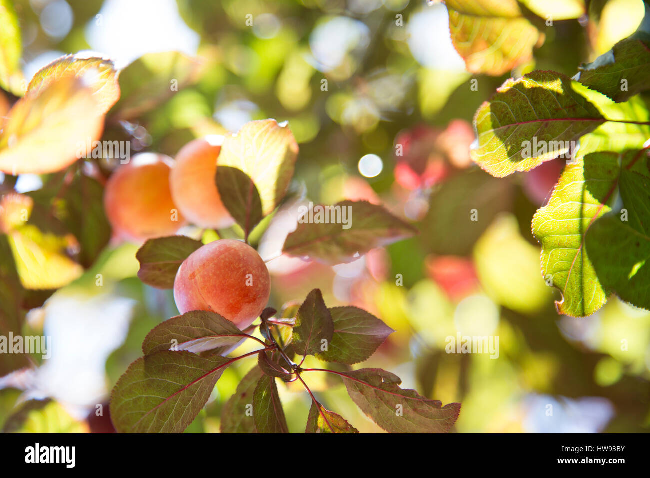 Fresh, ripe plums hang on the tree - Stock Image