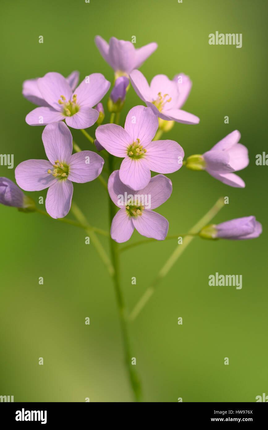 Cuckoo Flower (Cardamine pratensis), flowers, North Rhine-Westphalia, Germany Stock Photo