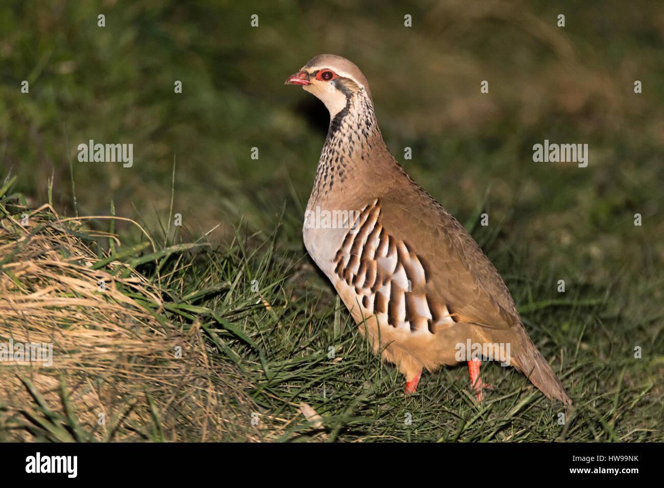 Red-legged partridge (Alectoris rufa). Gamebird in the pheasant family Phasianidae, aka French partridge, on grassland - Stock Image