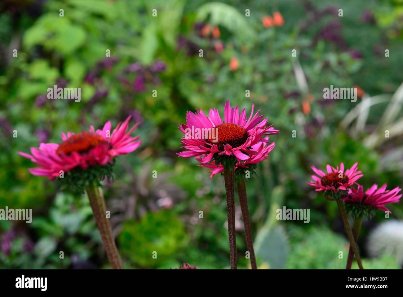 Echinacea purpurea ruby giant echinaceas coneflower coneflowers echinacea purpurea ruby giant echinaceas coneflower coneflowers red purple flower flowers flowering perennial rm floral mightylinksfo