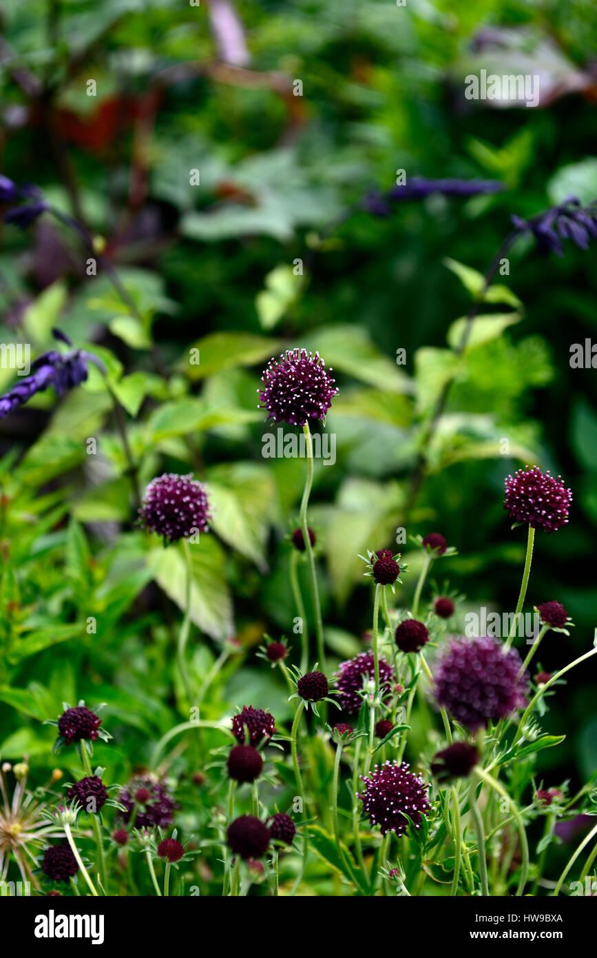 Scabiosa Atropurpurea Chile Black Dark Purple White Flower Stock
