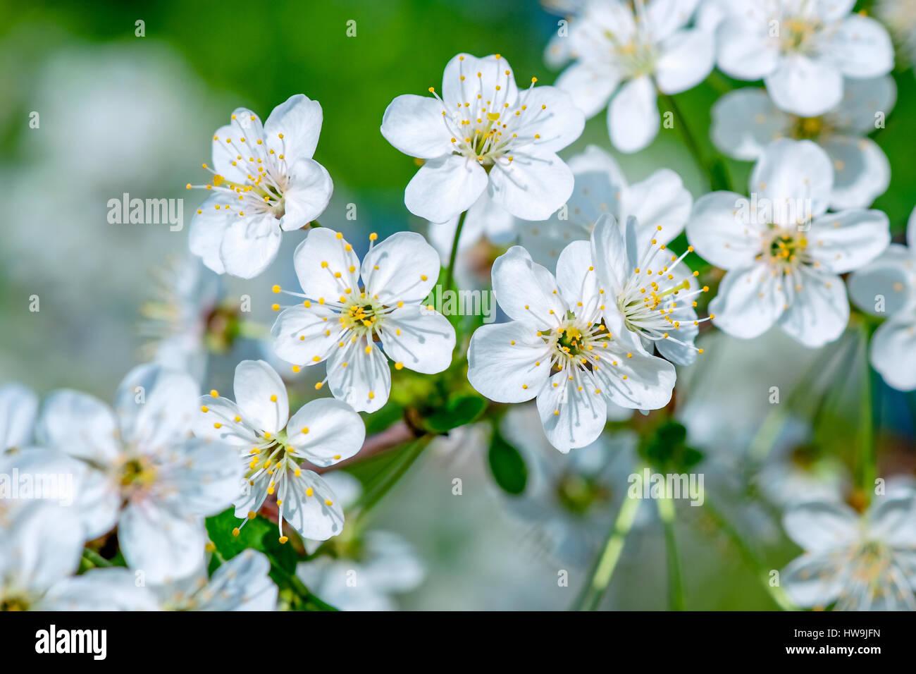 White flowers of a cherry tree in full bloom and blossom closeup white flowers of a cherry tree in full bloom and blossom closeup view joy and beauty of spring season mightylinksfo