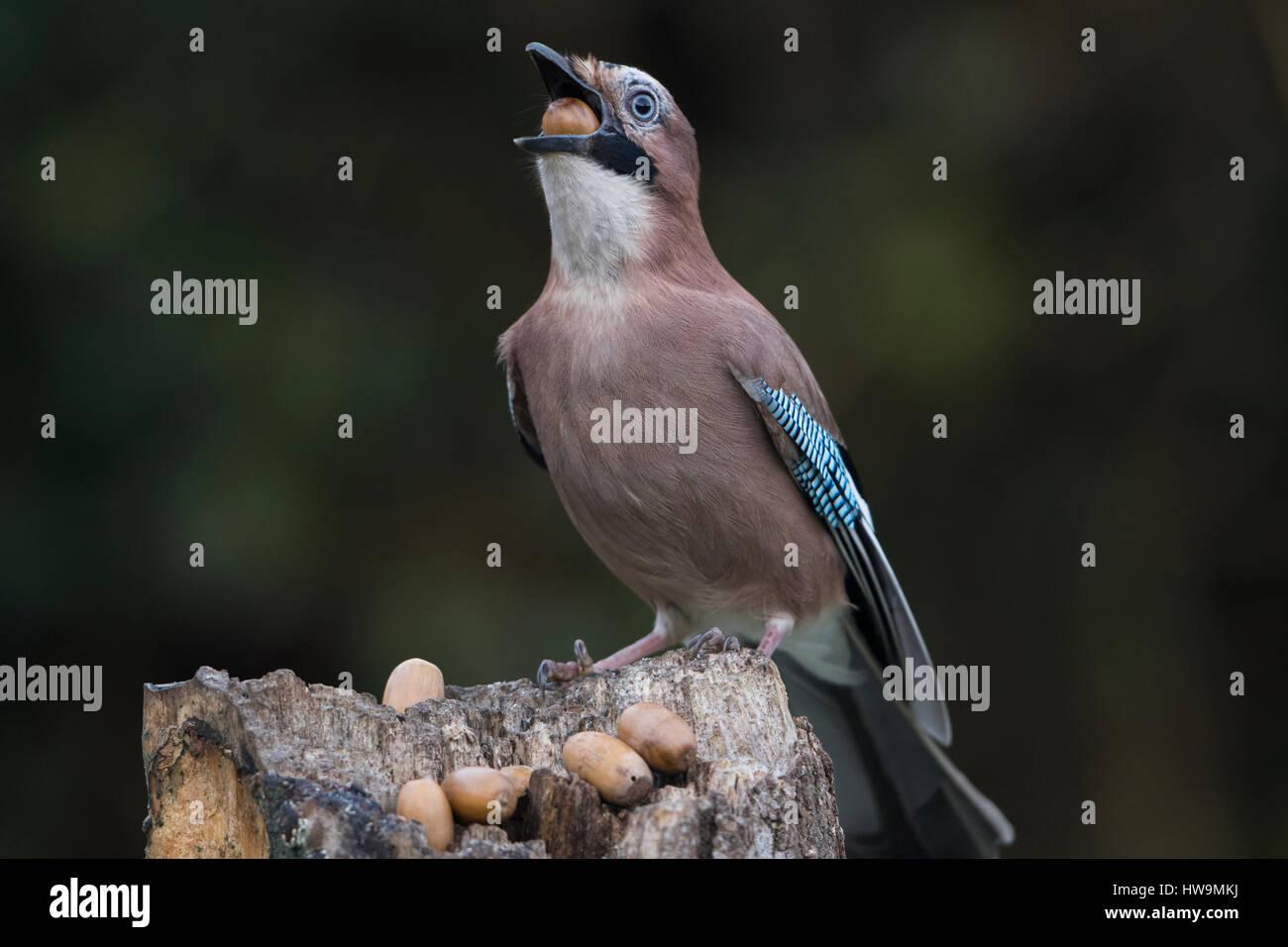 A Eurasian Jay (Garrulus glandarius) swallowing an acorn in garden, Hastings, East Sussex, UK - Stock Image