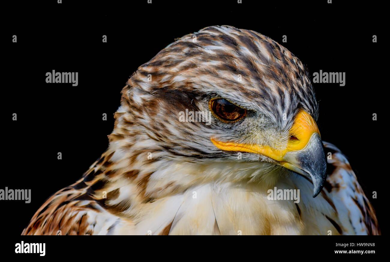 Color Headshot Portrait of a hawk looking angry on black background - Stock Image
