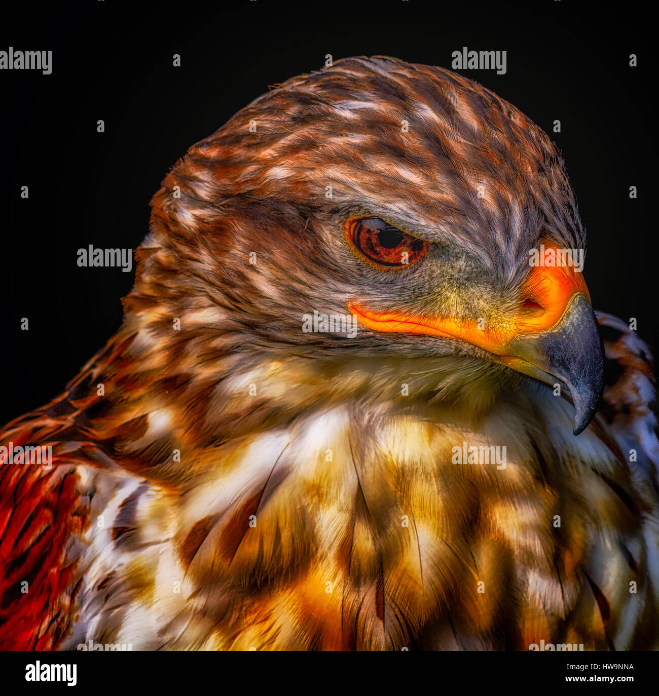 Intense Color Headshot Portrait of a hawk looking angry on black background - Stock Image