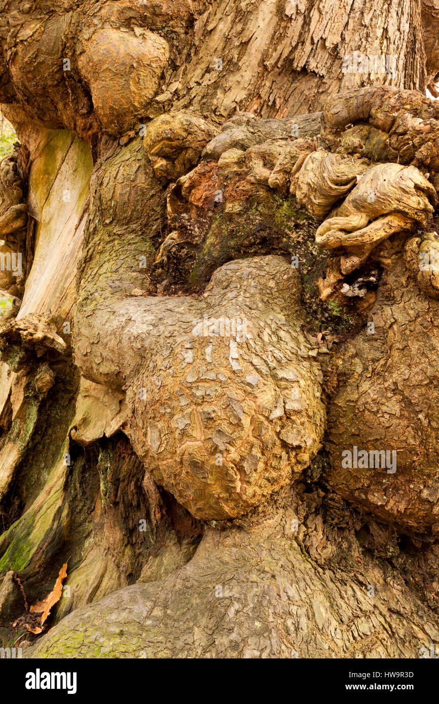 Gnarled Burl  on the bark of an ancient tree - Stock Image