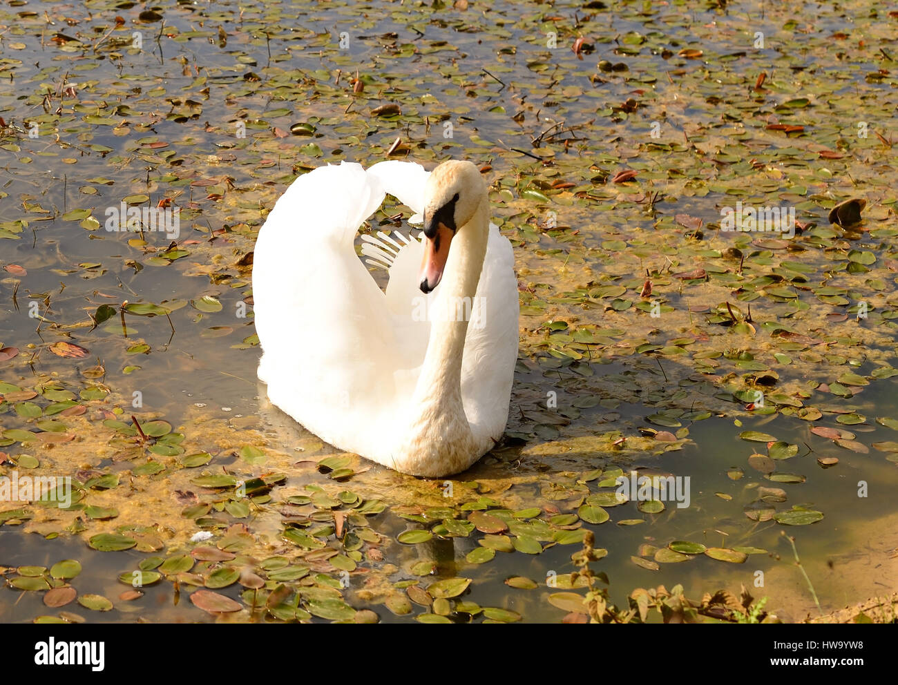 A mute swan on an inland waterway. - Stock Image