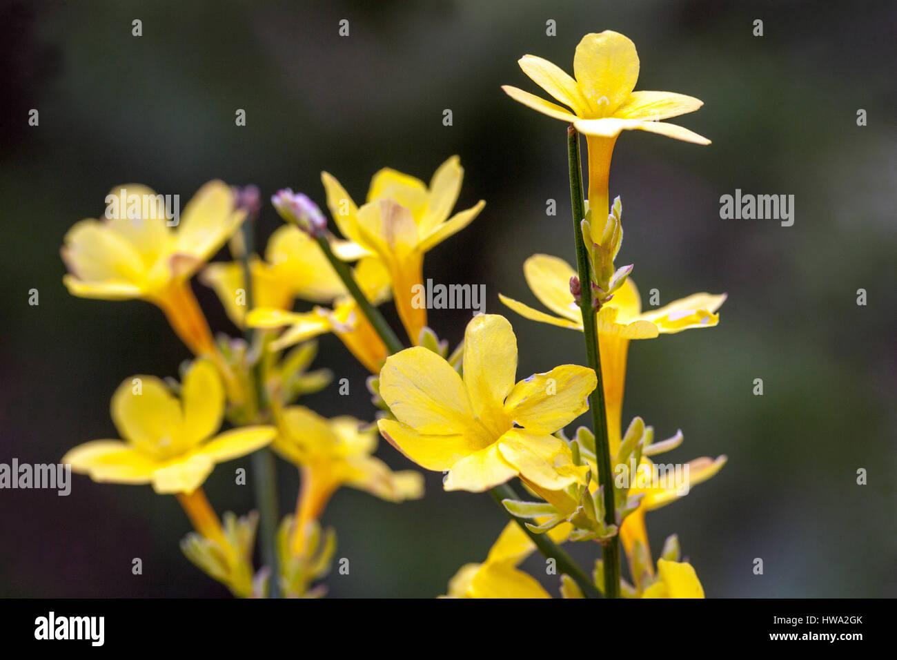 Winter jasmine jasminum nudiflorum stock photos winter jasmine winter jasmine jasminum nudiflorum flowering twigs stock image izmirmasajfo
