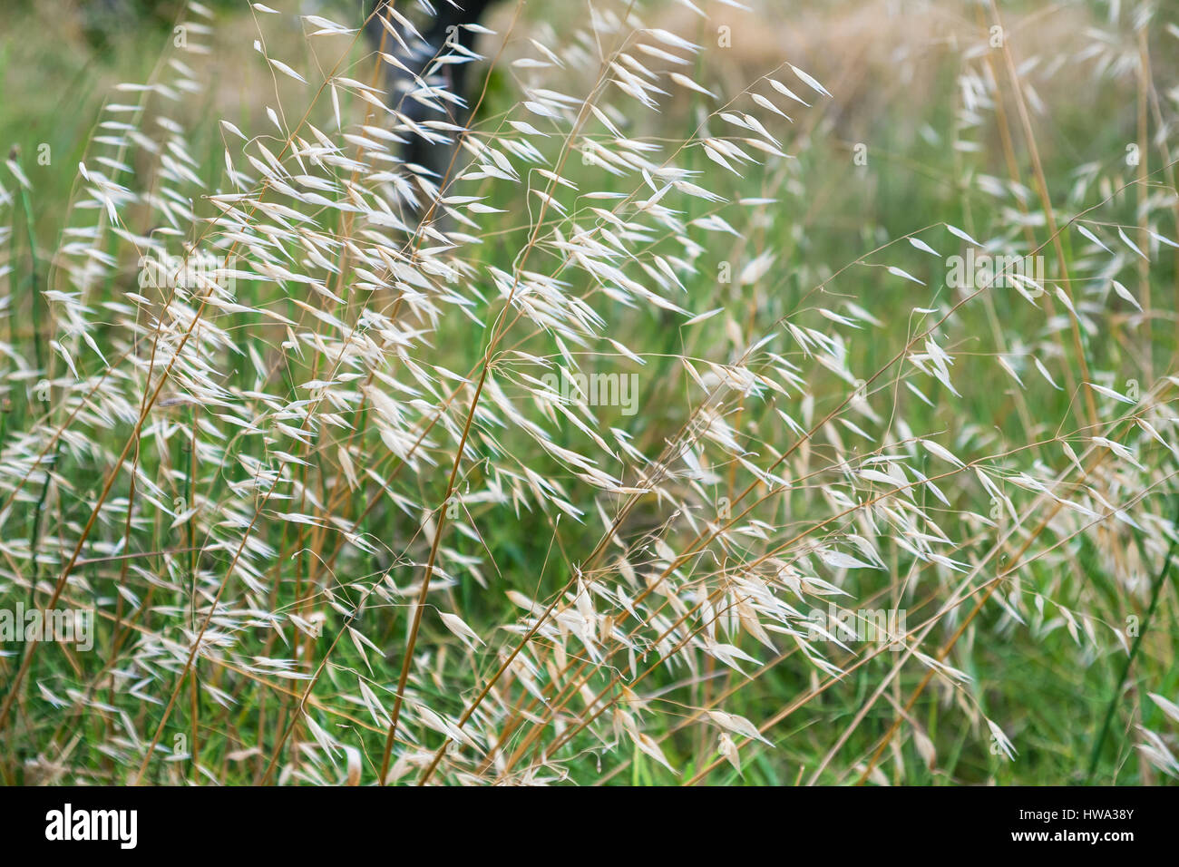 travel to Italy - Panicles of Avena fatua (common wild oat) on meadow in Sicily Stock Photo