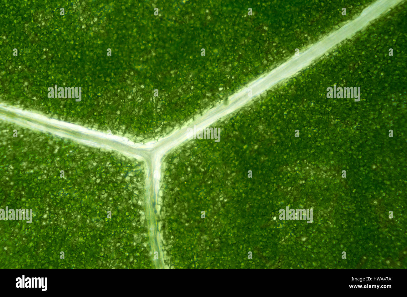 Lettuce leaf under light microscope. Detail of a Batavia leaf with green chloroplasts and translucent branching - Stock Image