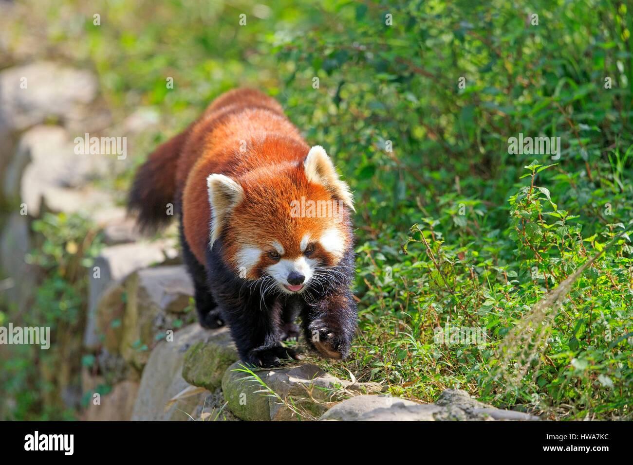 China, Sichuan, Research Base of Giant Panda Breeding or Chengdu Panda Base, Red Panda (Ailurus fulgens), captive Stock Photo