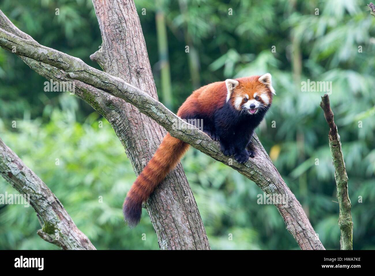 China, Sichuan, Research Base of Giant Panda Breeding or Chengdu Panda Base, Red Panda (Ailurus fulgens), captive, Stock Photo