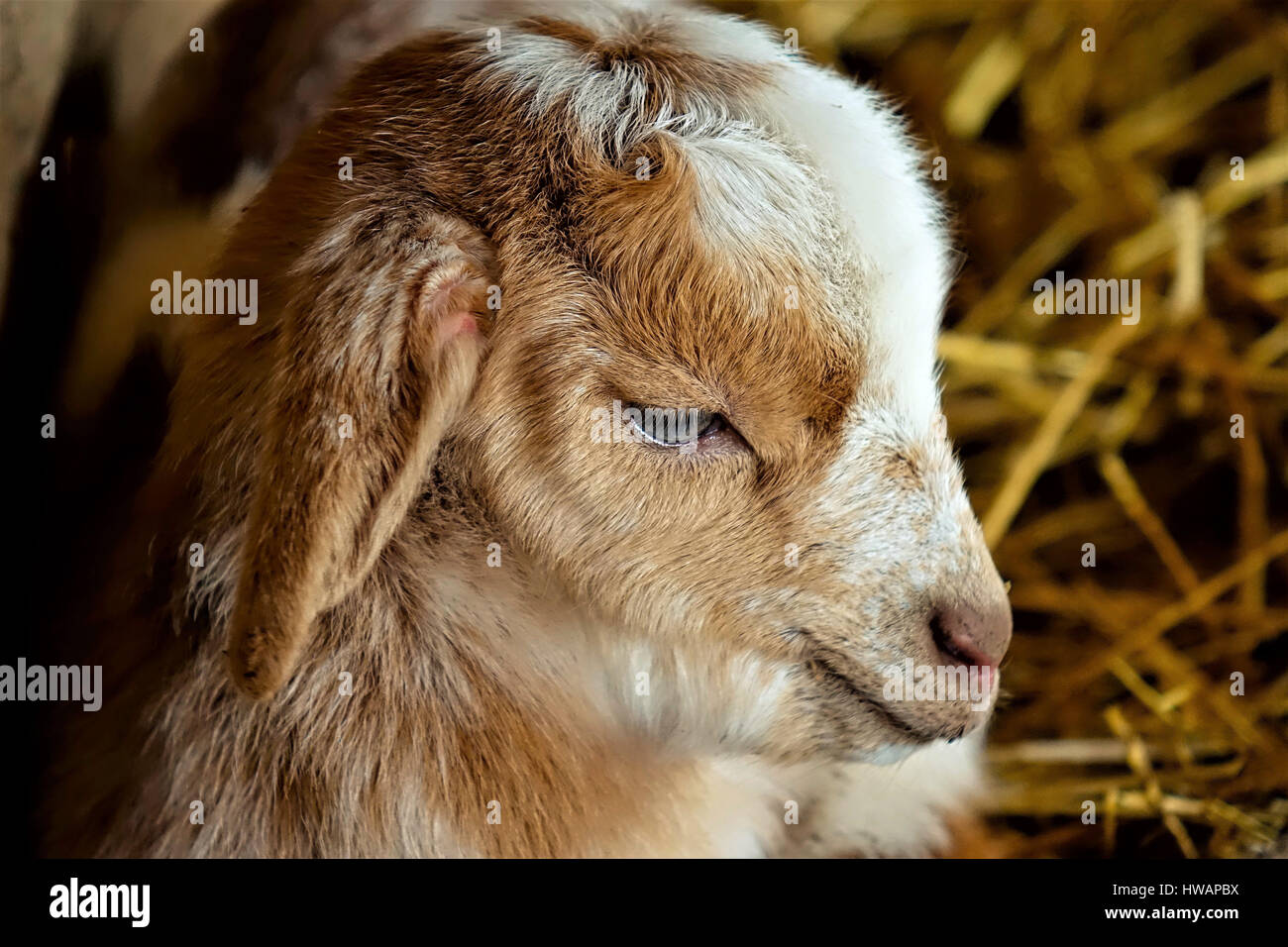 Small goat suckling - Stock Image