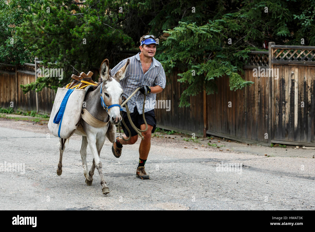 Runner and pack burro (donkey), Idaho Springs Tommyknockers Mining Days Festival and Pack Burro Race, Idaho Springs, - Stock Image